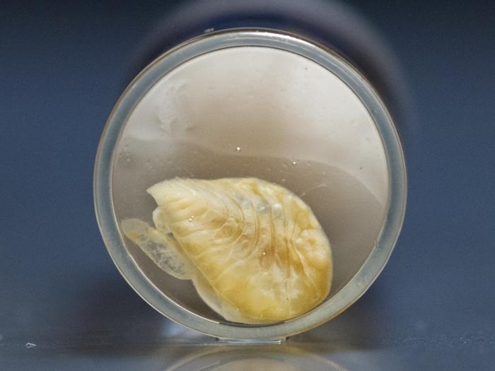 Bopyroides hippolytes - isopod