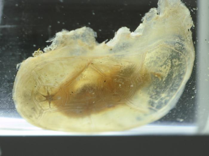 Chelyosoma macleayanum