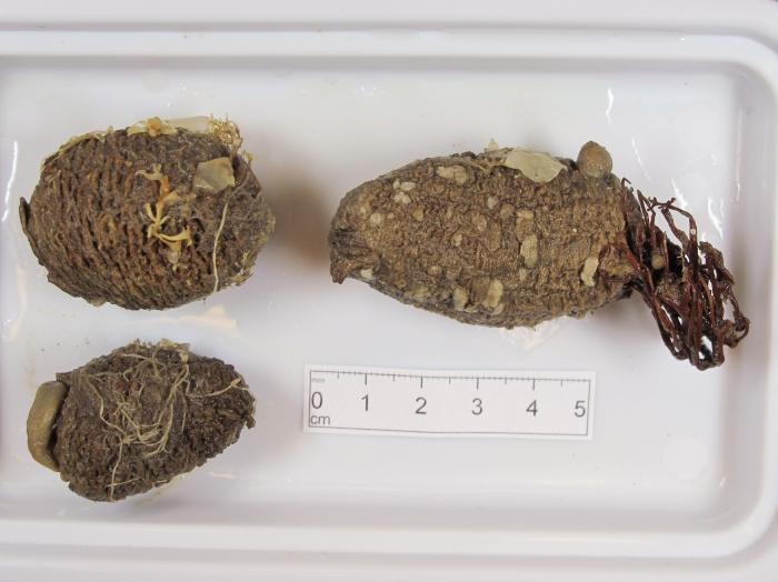 Styela rustica - small trio