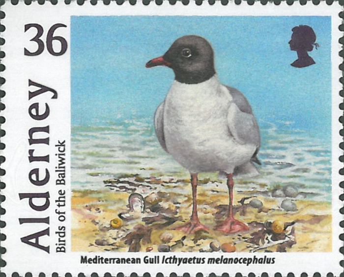 Larus melanocephalus