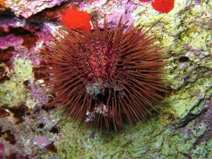 Paracentrotus lividus