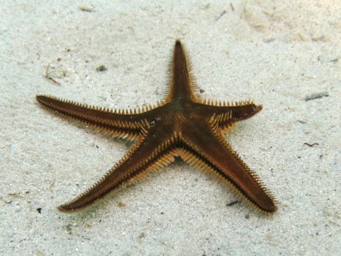 Astropecten bispinosus