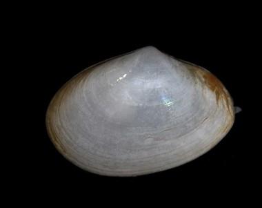 Picture of Abra alba