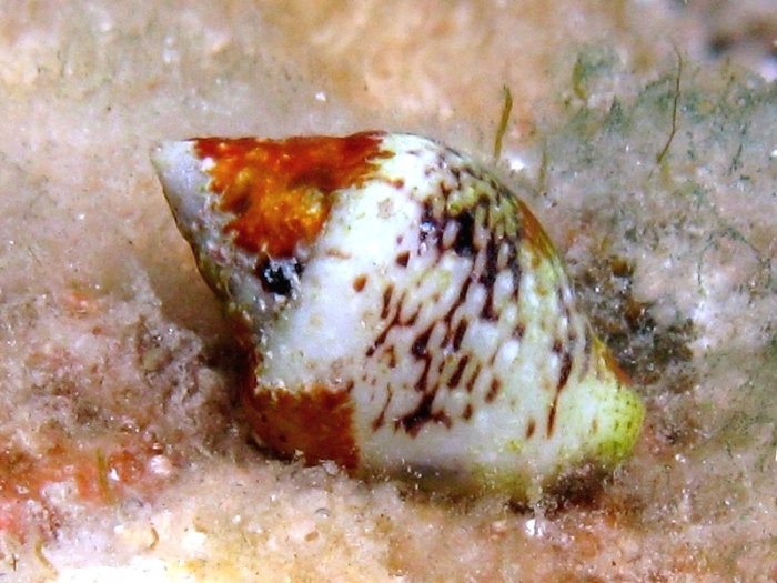 Columbella rustica