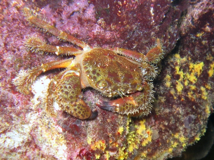 Eriphia verrucosa