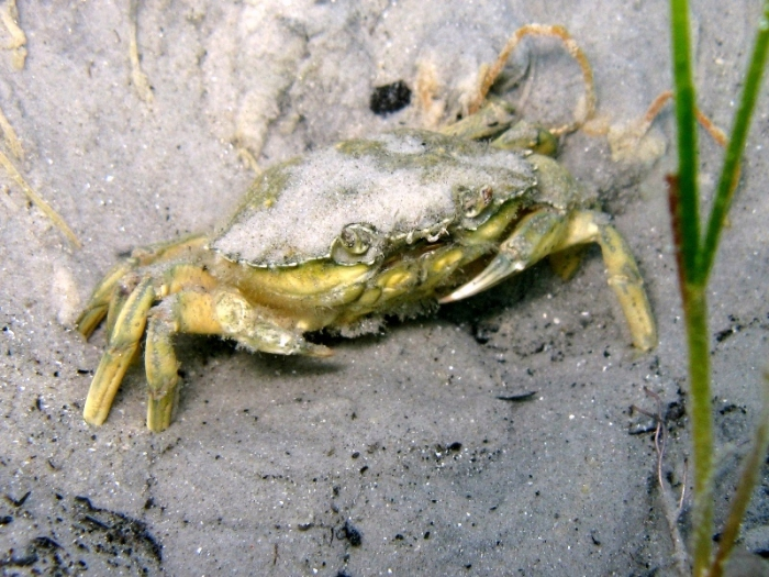 Carcinus aestuarii