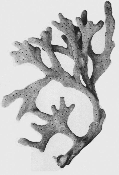 Spongia arborescens holotype