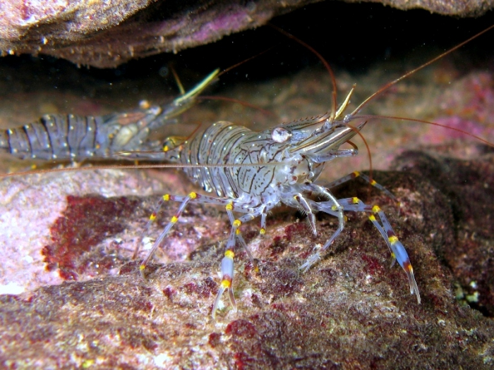 Palaemon serratus