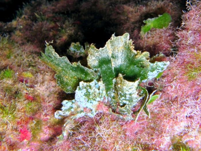 Flabellia petiola