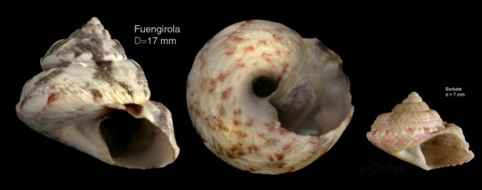 Gibbula magus (Linnaeus, 1758)  — Specimen from Fuengirola, S. Spain, actual size 17 mm / juvenile specimen from Barbate, actual size 7 mm