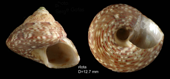 Gibbula umbilicaris (Linnaeus, 1758) — shell from Rota, SW Spain (actual size 12.7 mm)