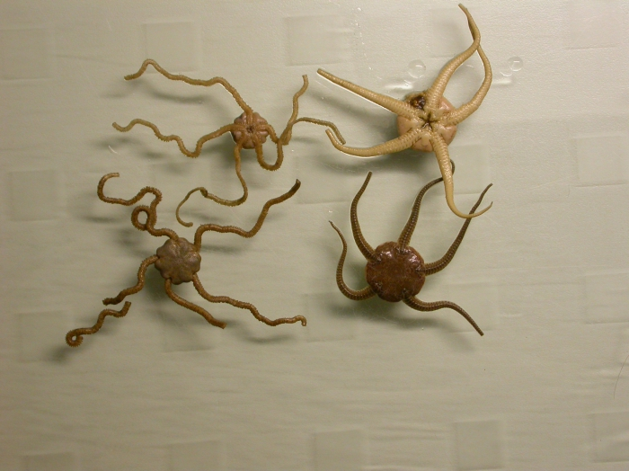 Amphiura brachiata  - Ingegraven slangster
