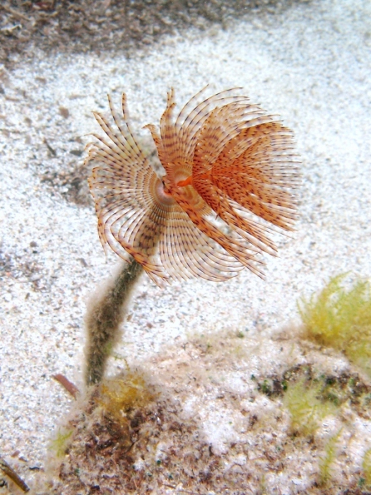 Sabella spallanzanii