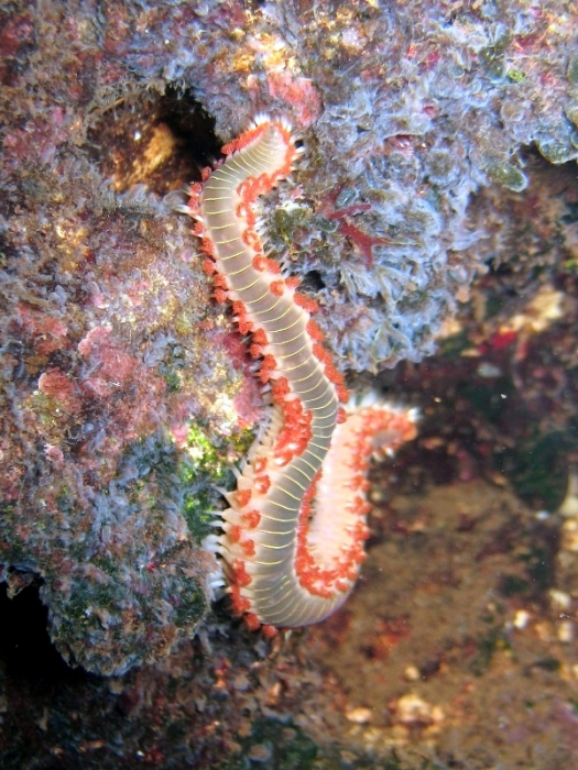 Hermodice carunculata