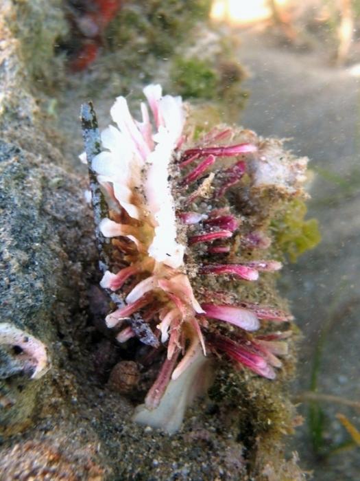 Spondylus cf. gaederopus