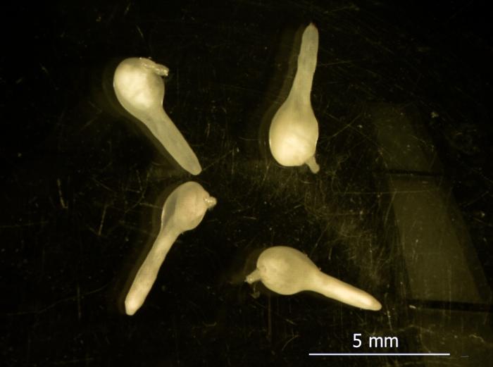 Acanthocephalan,  Corynosoma sp.