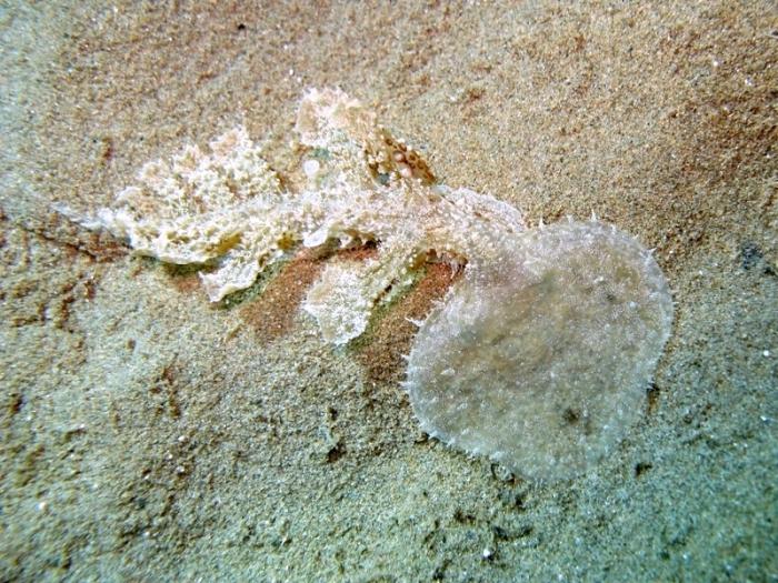 Melibe viridis