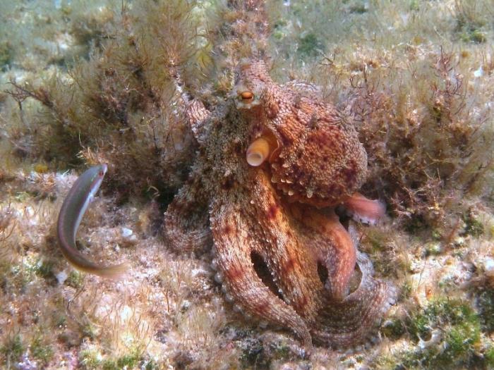 Octopus vulgaris