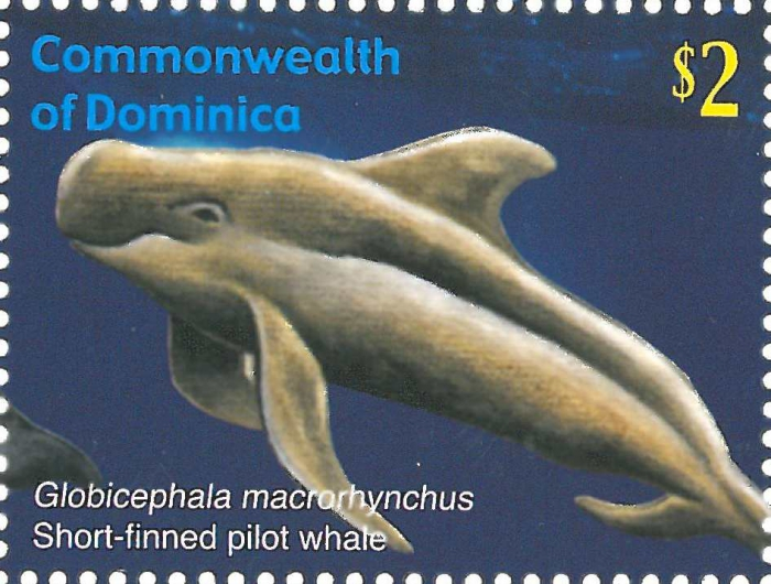 Globicephala macrorhynchus