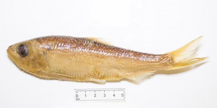 Alosa pseudoharengus - alewife (small)
