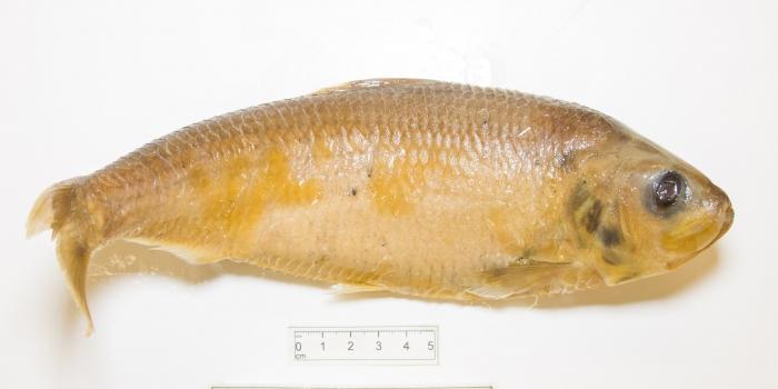 Alosa pseudoharengus - alewife (large)