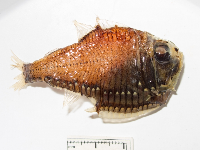 Argyropelecus gigas 2