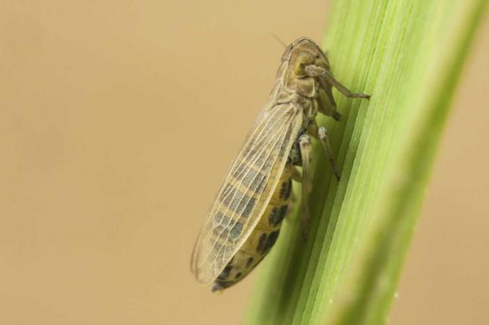 Prokelisia marginata (brachypteer)