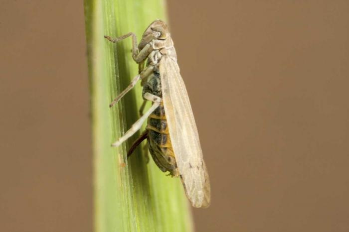 Prokelisia marginata (macropteer)
