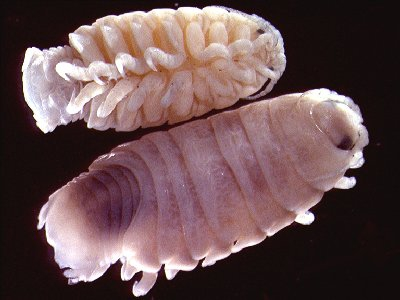 Ceratothoa steindachneri