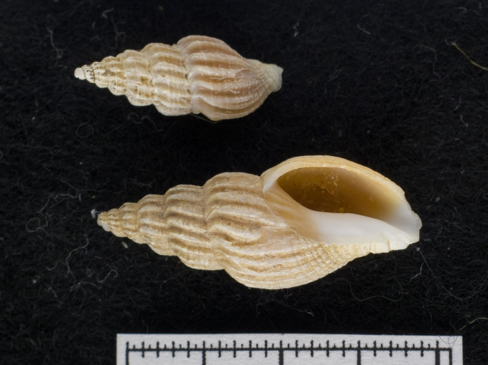 Oenopota pingelii