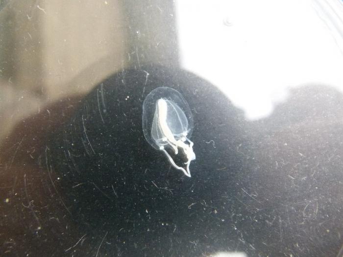 Klepelklokje (Sarsia tubulosa)