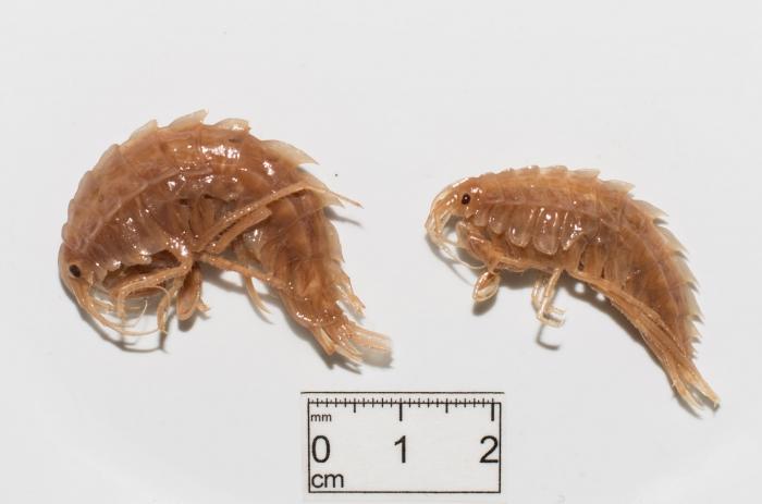 Gammaracanthus loricatus - pair