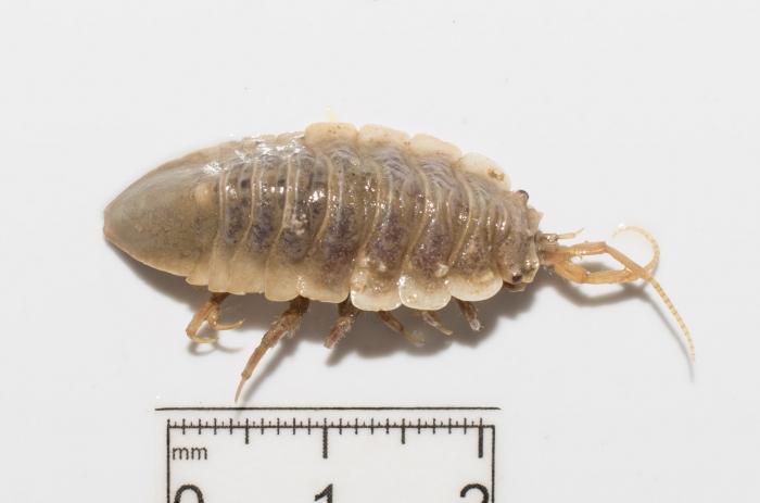 Synidotea bicuspida - dorsal