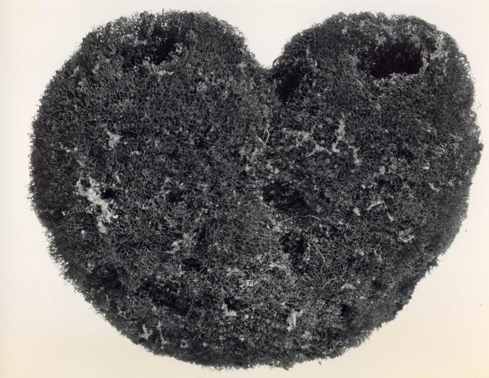 Luffaria nuciformis holotype