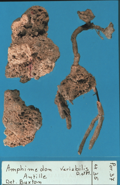 Amphimedon variabilis lectotype