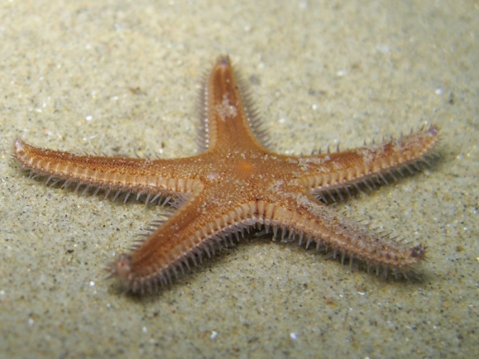Astropecten spinulosus