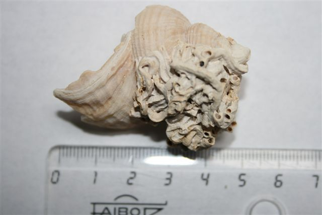 Fossiel wulkfragment met een cluster van driekantige kalkkokerworm