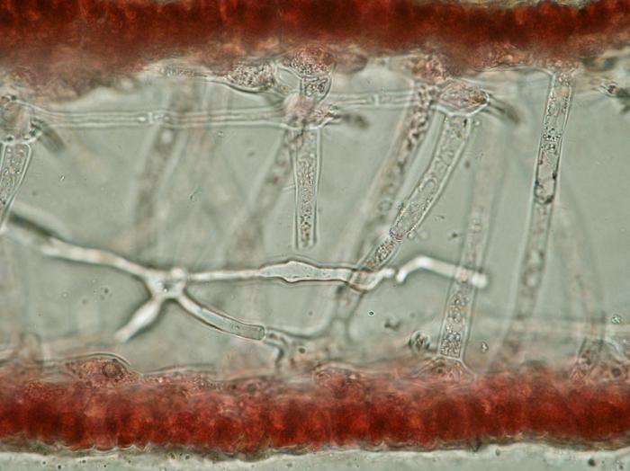 Kallymenia reniformis