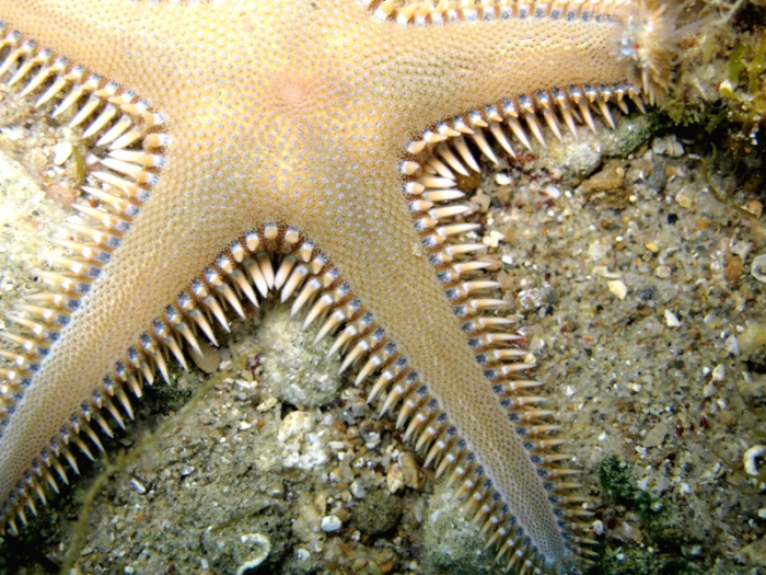 Astropecten platyacanthus
