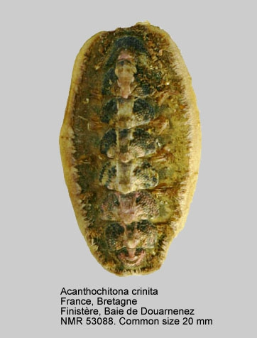 Acanthochitona crinita
