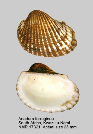 Anadara ferruginea