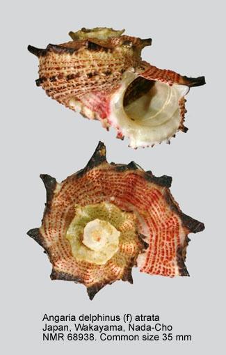 Angaria delphinus