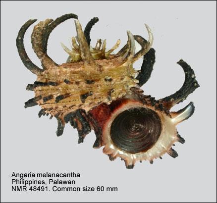 Angaria melanacantha