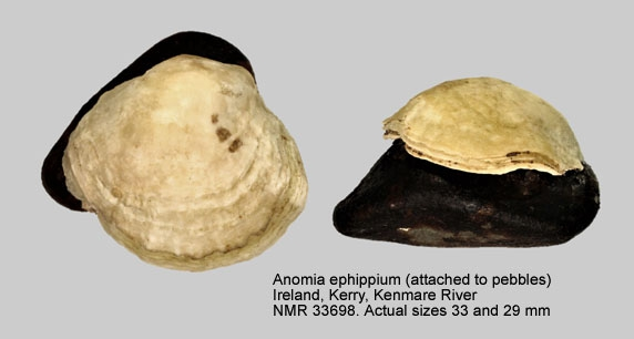 Anomia ephippium