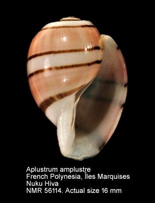 Aplustrum amplustre