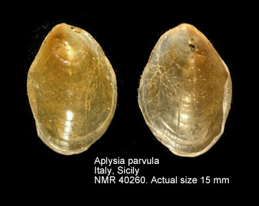 Aplysia parvula