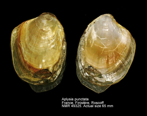 Aplysia punctata