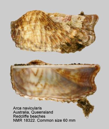 Arca navicularis