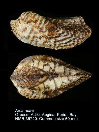 Arca noae