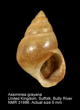 Assiminea grayana